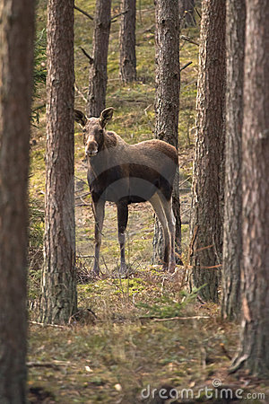 Free Moose Stock Photography - 20136842
