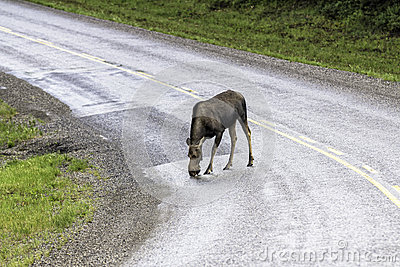 Moose across the road in Alaska