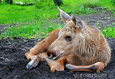 Moose calf (Alces alces)