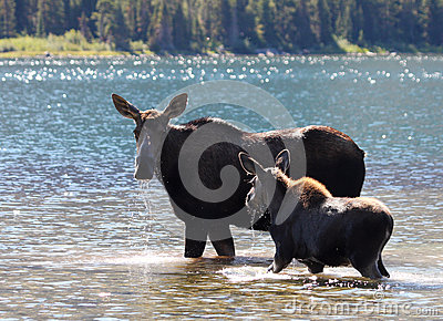 Moose and Calf at Glacier National Park