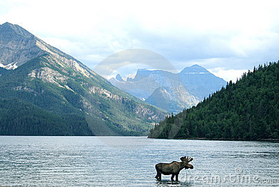 Moose in Canadian lake