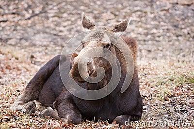 Moose Cow Closeup