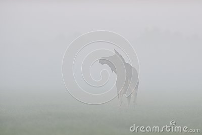 Moose cow in the fog