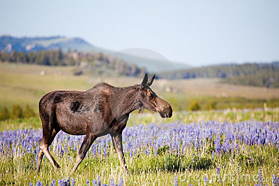 Moose cow on meadow
