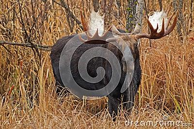 Moose drooling