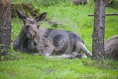 From a moose farm on ed in sweden, female