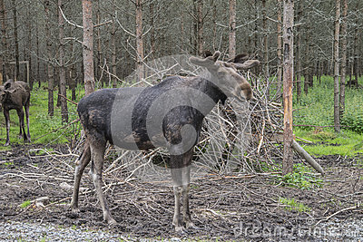 From a moose farm on ed in sweden, male