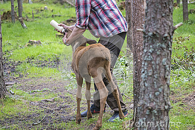 From a moose farm on ed in sweden, moose calf, female, being fed Editorial Stock Image