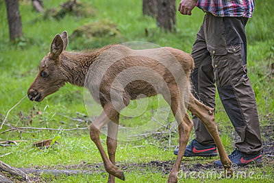 From a moose farm on ed in sweden, moose calf, female Editorial Stock Image