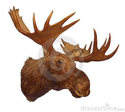 Moose head antler