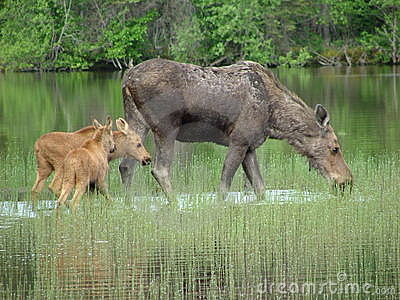 Moose and her twin baby calves