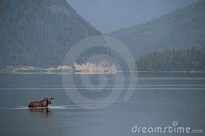 Moose in the lake.