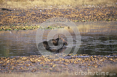 Moose Lying in Stream