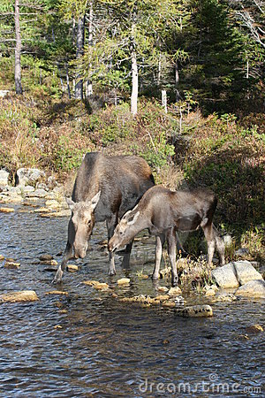 Moose and Offspring