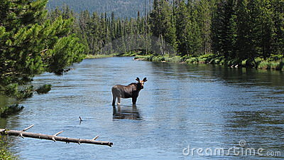 Moose in river