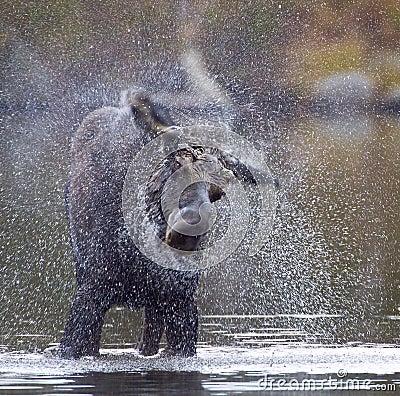Moose Shake