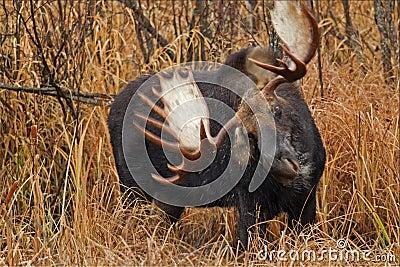 Moose shaking his head