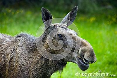 Moose in Sweden