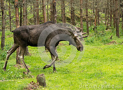 Moose in the swedish woods
