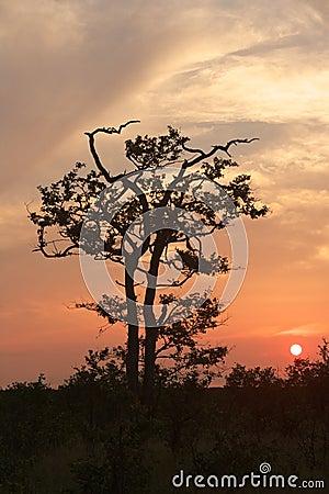 Mopane Sunset