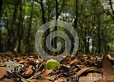 Mopane sapling