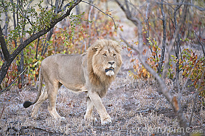 Mopaniveld Lion