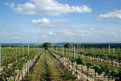 Moravian Vineyard in the Spring
