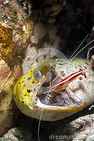 Free Moray Eel And Cleaner Shrimp Stock Photo - 28525830