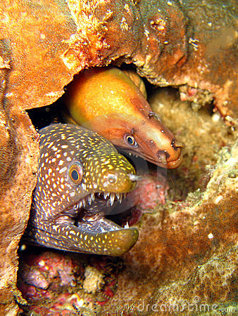 Free Moray Eels Royalty Free Stock Photography - 3161827