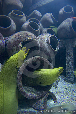 Free Moray Eels In Sunken Ship Royalty Free Stock Images - 8354259