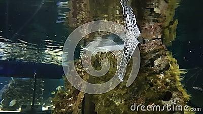 Moray in verzierter Marine Aquarium stock footage