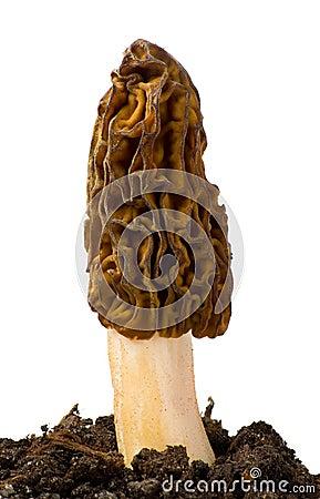 Free Morel Mushroom Stock Photo - 19456600
