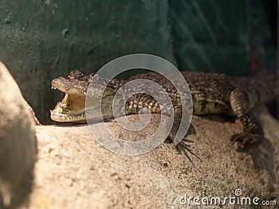 Moreletii s för krokodilcrocodylusmorelet