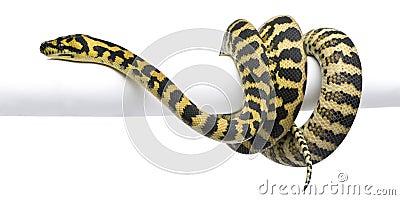 Morelia spilota variegata python, 1 year old