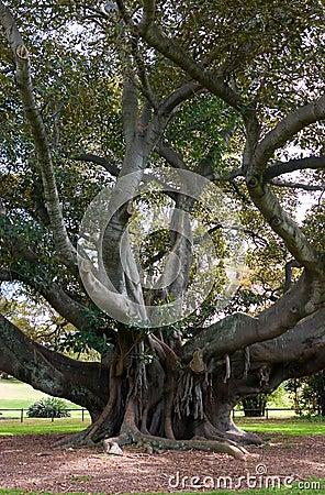 Free Moreton Bay Fig Stock Images - 1319794