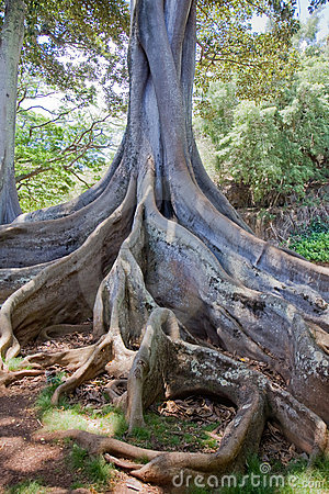 Moreton Bay Fig Tree 2