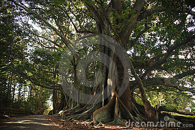 Moreton Bay Fig Trees