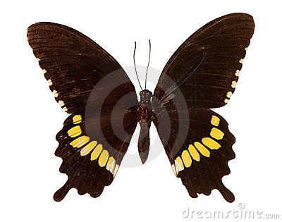 Mormon общего бабочки