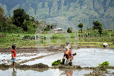 Morning activity in paddy fields Editorial Photography