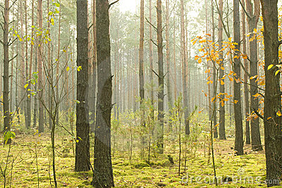 Morning  in autumn wood.