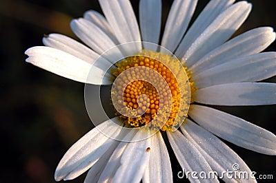 Morning daisy