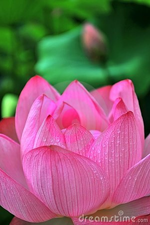 Morning dew on lotus flower