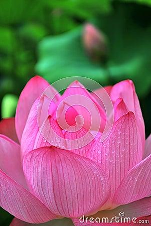 Morning dew on lotus flower