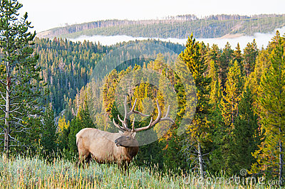 Morning Elk