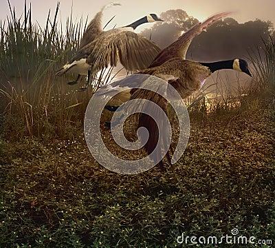 Free Morning Geese Stock Photos - 10679913