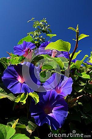 Free Morning Glory Royalty Free Stock Photo - 13135985