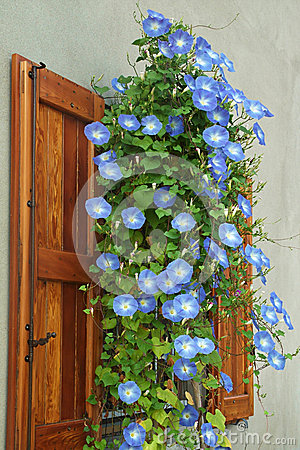 Free Morning Glory Royalty Free Stock Images - 45498419