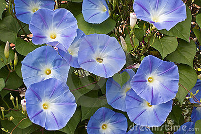 Morning Glory Blooms