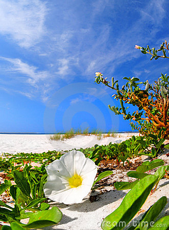 Free Morning Glory Blossom On Beach Stock Photos - 6156723