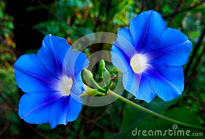 Morning Glory Flower Pair